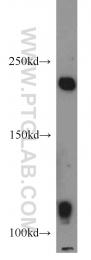 16541-1-AP - Axin-1