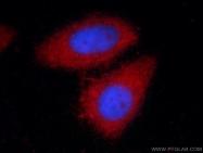 66135-1-Ig - Alpha-1-antitrypsin