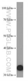 66245-1-Ig - Annexin A5 / ANXA5