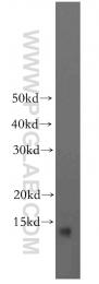 19687-1-AP - BLOC-1 subunit 1