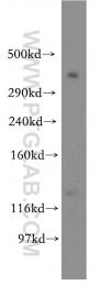 19791-1-AP - BRCA2 / FANCD1