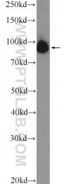 26029-1-AP - GCF / TCF9