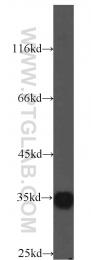14496-1-AP - C9orf78