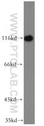 15112-1-AP - Caprin-1