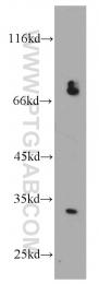 21147-1-AP - CCDC44