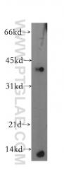13397-1-AP - MIP3-beta / CCL19