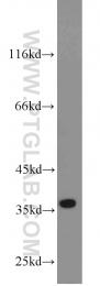 10718-1-AP - Cyclin H