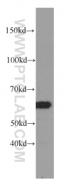60264-1-Ig - CCT3 / TCP1 gamma