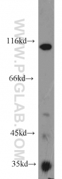 18160-1-AP - CD248 / TEM1