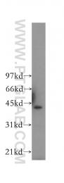 12971-1-AP - CD40