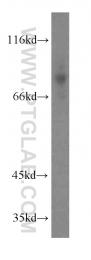 13071-1-AP - CD97