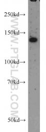12958-1-AP - RASGRF1