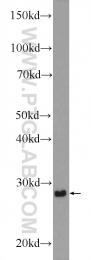 21655-1-AP - Cdx1