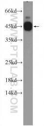 12997-1-AP - CEBPG