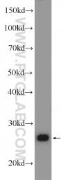 25625-1-AP - CHCHD3