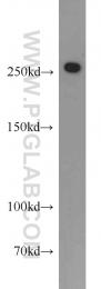 14173-1-AP - CHD4