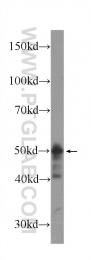 60277-1-Ig - CHK1