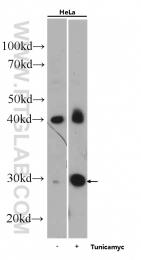 60304-1-Ig - GADD153 / CHOP