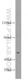 10333-1-AP - Neuronal acetylcholine receptor subunit alpha-3