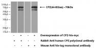 15944-1-AP - Carboxypeptidase Z
