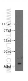 16685-1-AP - CRK