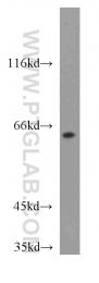 13997-1-AP - Cryptochrome-2