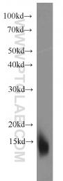 10823-1-AP - Cystatin-B