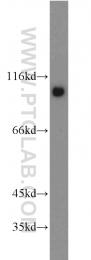 12180-1-AP - Catenin delta-1