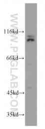 20882-1-AP - Cullin-4B