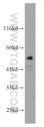 11771-1-AP - CYP4B1