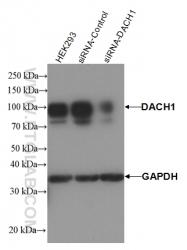 10914-1-AP - DACH1
