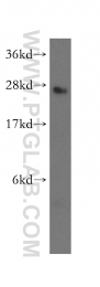 16947-1-AP - Dynactin subunit 6