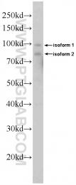 10528-1-AP - DDX21