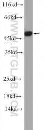 11561-1-AP - DGAT1