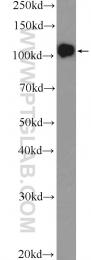 25835-1-AP - DGCR8