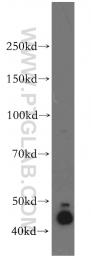 11713-1-AP - DNAJA1 / HDJ2