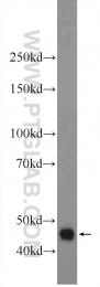 22652-1-AP - Deoxyribonuclease-2-beta