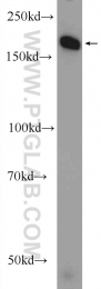24206-1-AP - DNMT1