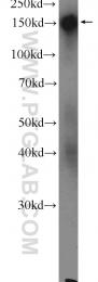 23087-1-AP - Desmoglein-4