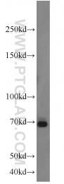 10923-1-AP - E2F4