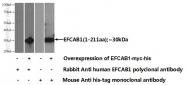 17276-1-AP - EFCAB1