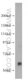14578-1-AP - Pikachurin