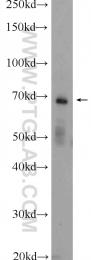 13656-1-AP - ENTPD2 / CD39L1