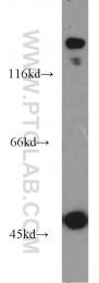 15437-1-AP - EPB41L2