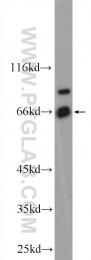 55308-1-AP - Erythropoietin receptor
