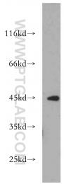 21523-1-AP - Nuclease EXOG