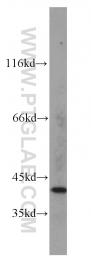 15452-1-AP - Fatty acid alpha-hydroxylase