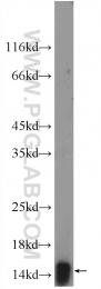 12348-1-AP - FABP5