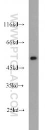 16251-1-AP - FAF2 / ETEA