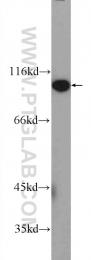 25163-1-AP - FAM40B